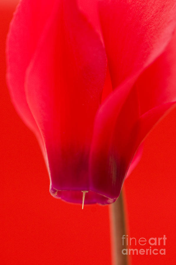 Simply Red Photograph  - Simply Red Fine Art Print