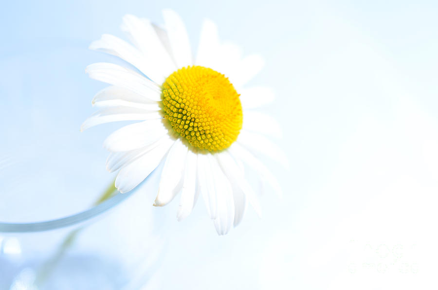Single Daisy Flower In Vase Photograph