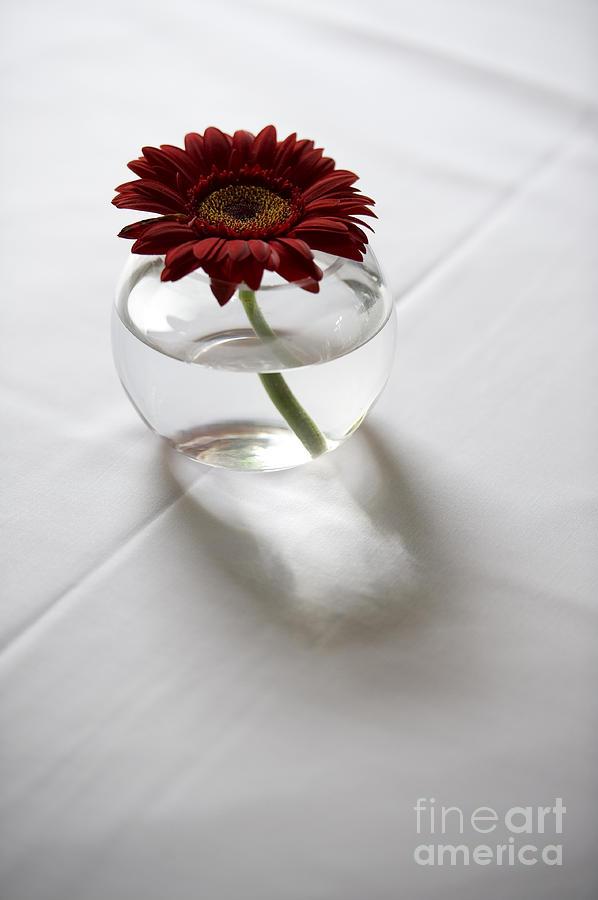 ... Single Red Gerbera Flower In A Vase On White Table Linen by Lee Avison