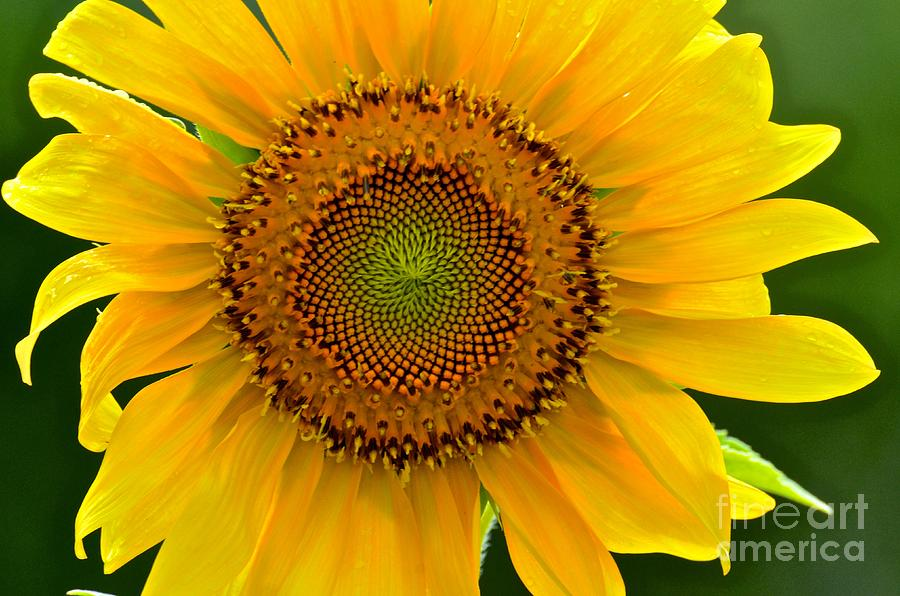 sunflower hindu singles There are many types of birdseed available,  black oil sunflower seeds are the single most popular seed for different bird species.