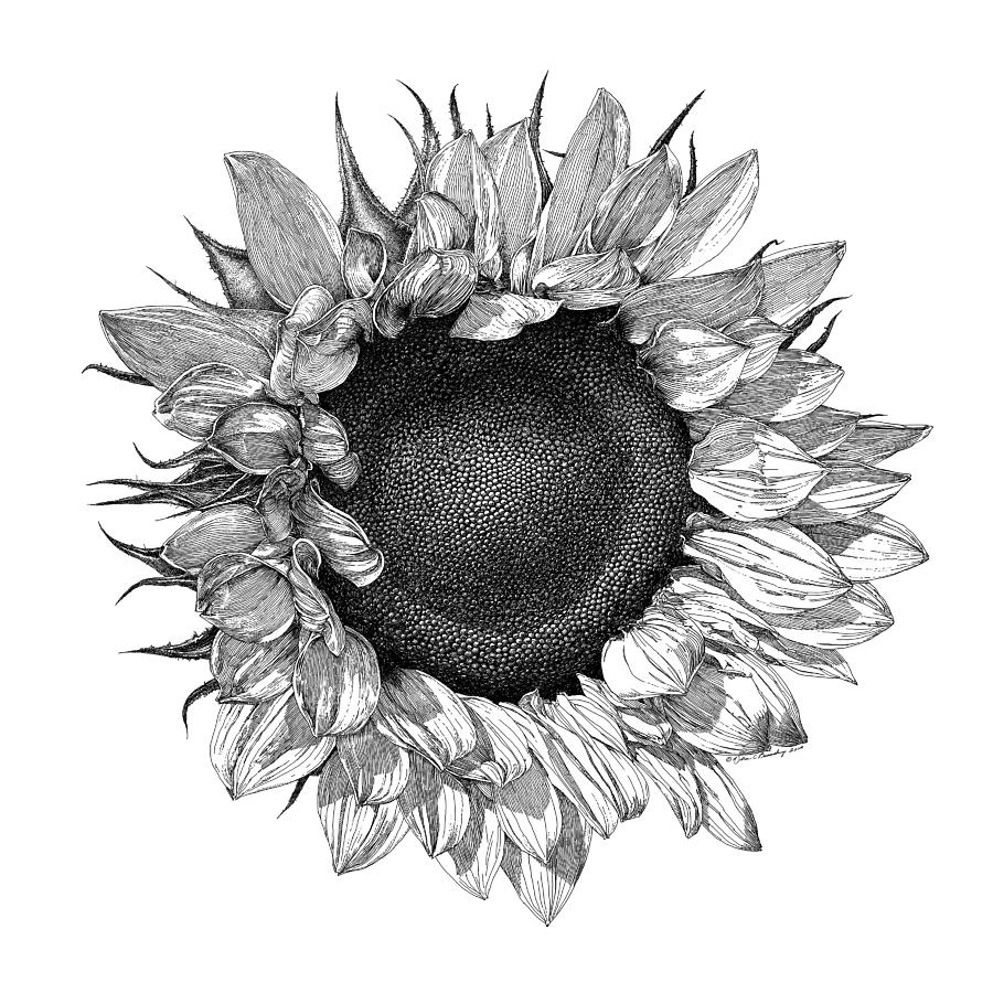 single sunflower drawing by william beauchamp
