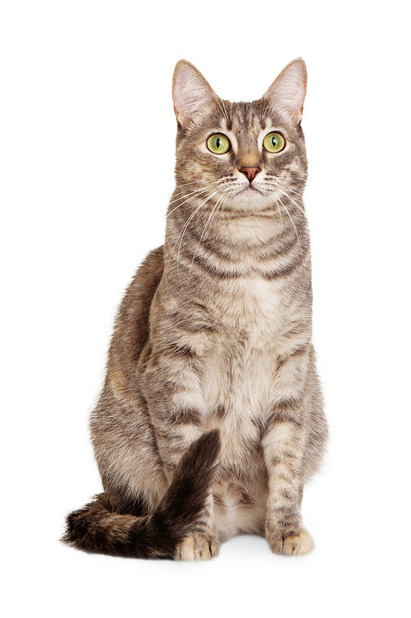 Sitting Gray Tabby Cat Photograph