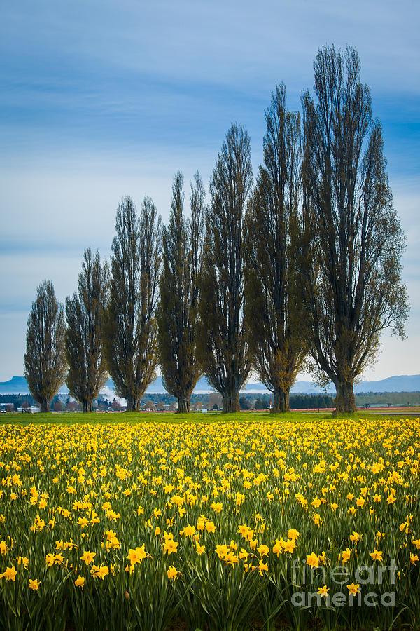 Skagit Trees Photograph