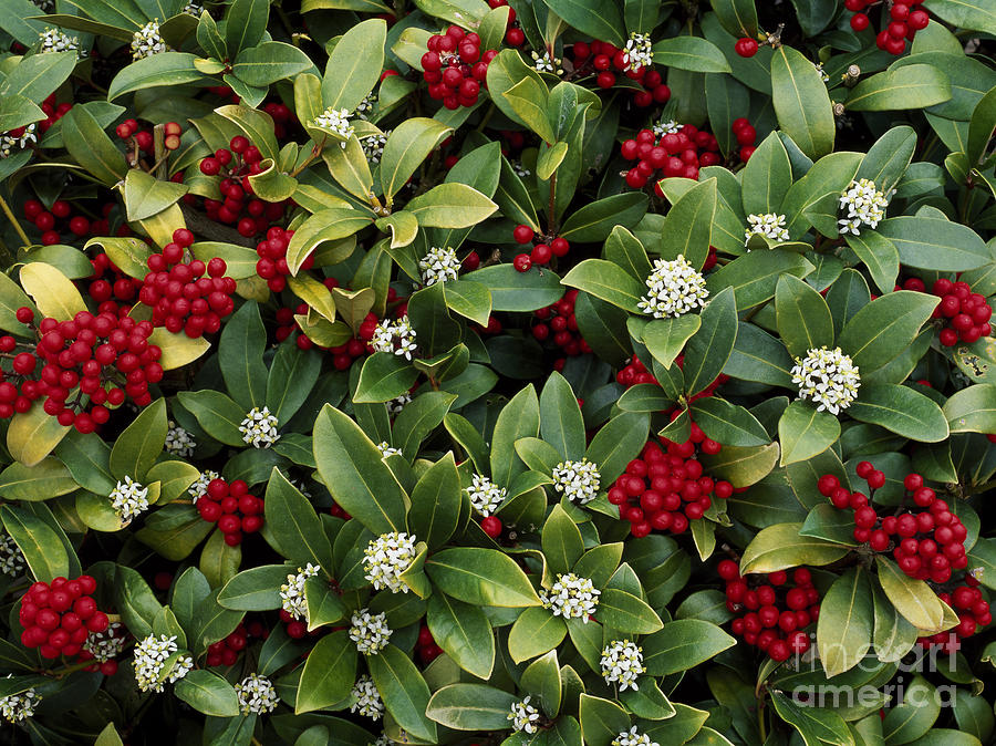 skimmia japonica photograph by geoff kidd. Black Bedroom Furniture Sets. Home Design Ideas