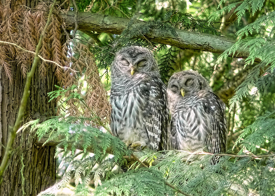 Sleeping Barred Owlets Photograph  - Sleeping Barred Owlets Fine Art Print