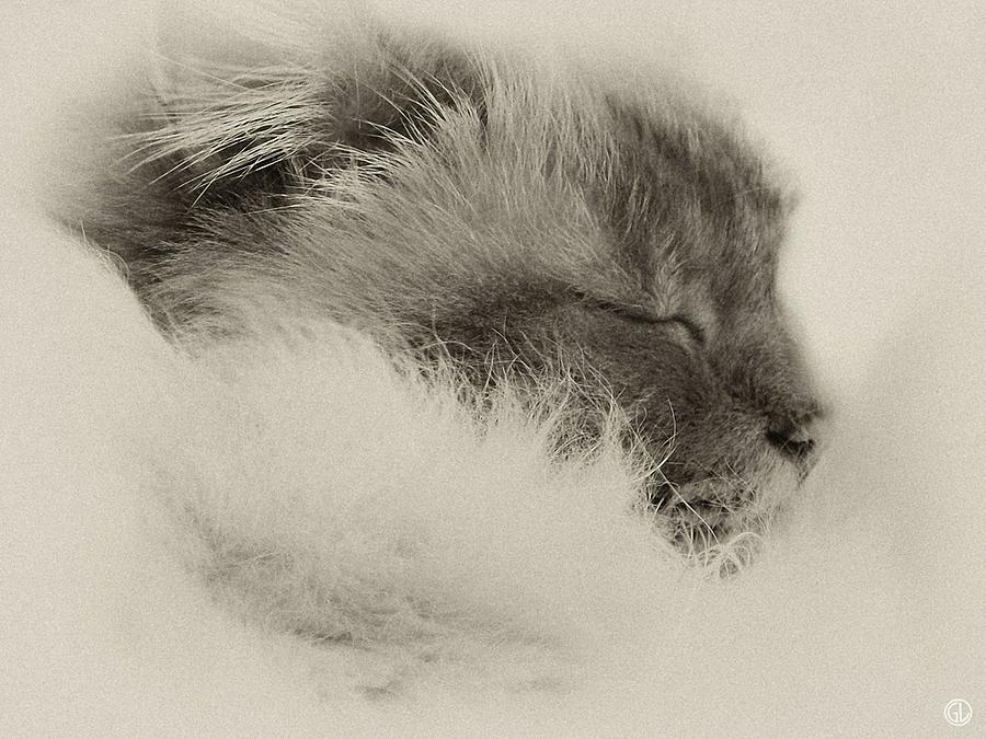 Animal Photograph - Sleeping Birma by Gun Legler