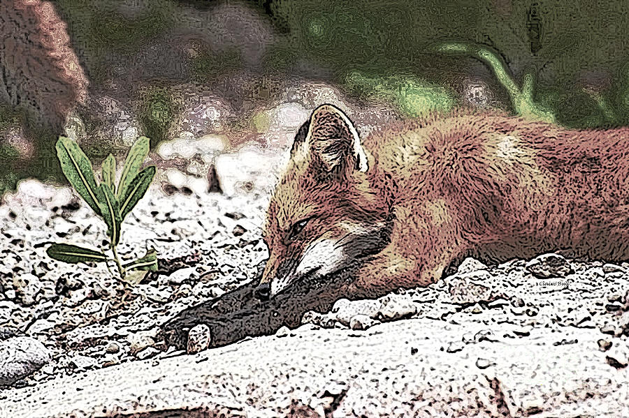 Sleeping Fox Photograph