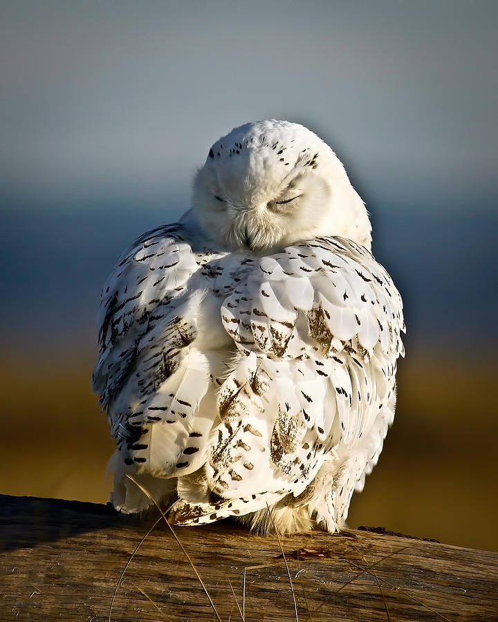 Sleeping Snowy Owl Photograph  - Sleeping Snowy Owl Fine Art Print