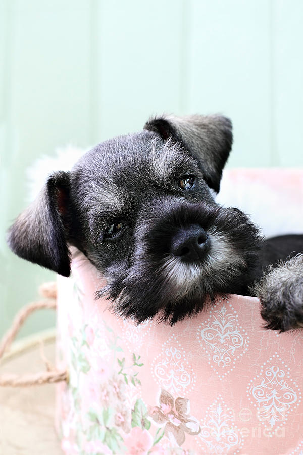 Miniature Photograph - Sleepy Mini Schnauzer by Stephanie Frey
