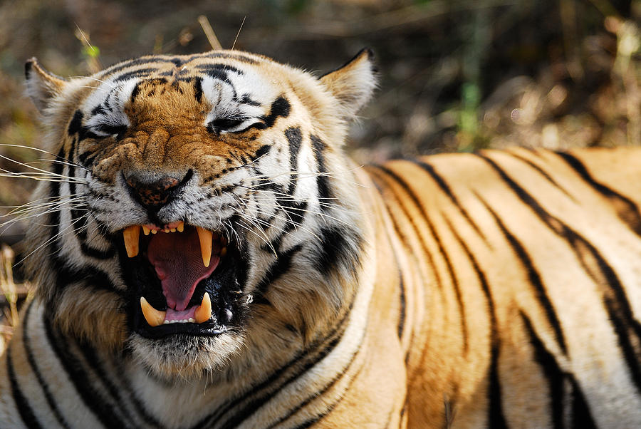 Tiger Photograph - Smile by Stefan Carpenter