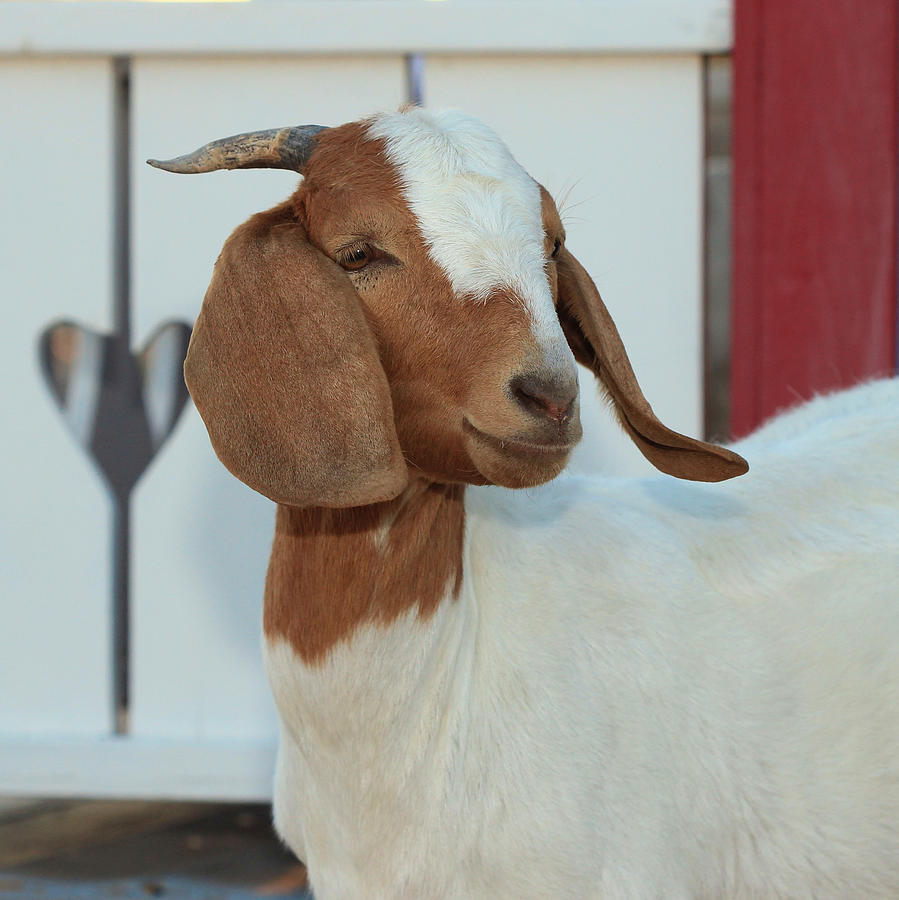 Goat Smiling With Braces