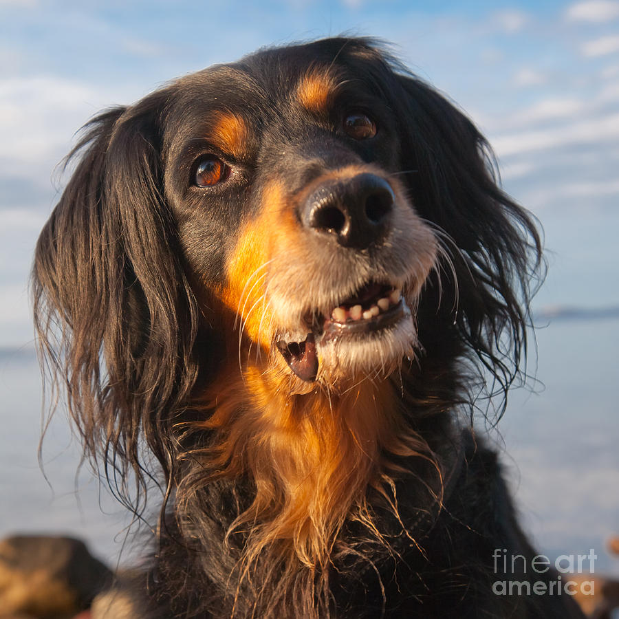 Golden Retriever Border Collie Mix Puppies | Dog Breeds ...