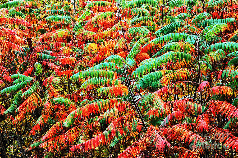 Smooth Sumac Fall Color Photograph  - Smooth Sumac Fall Color Fine Art Print