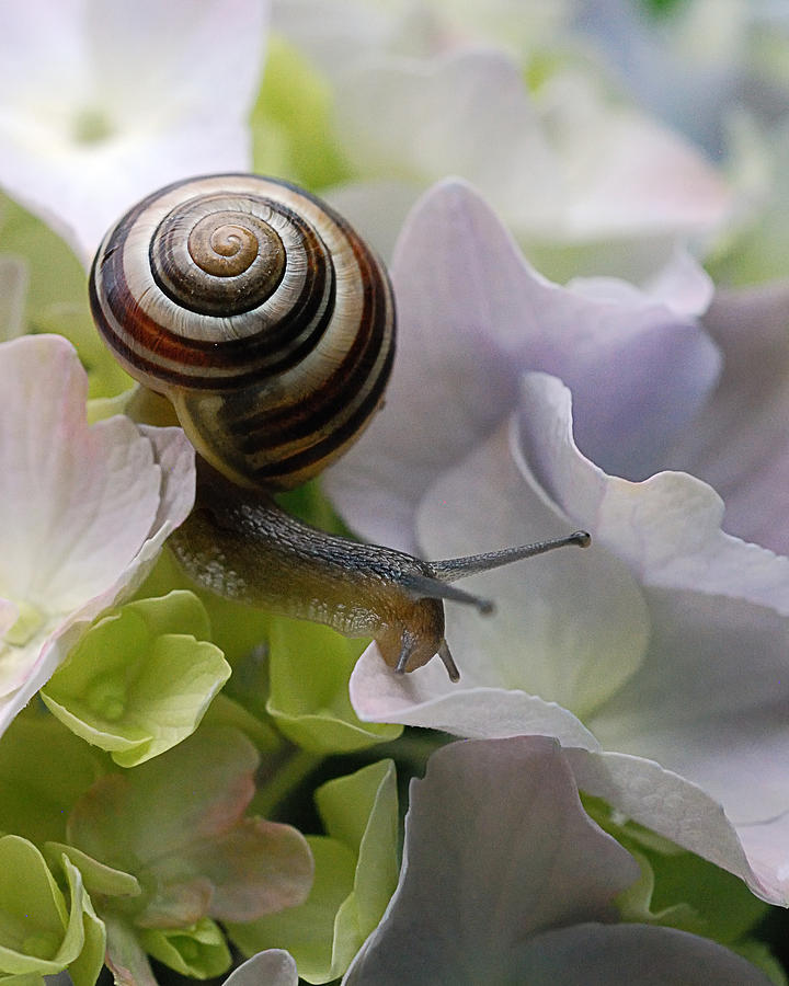 Snail On Hydrangea 2013 Photograph