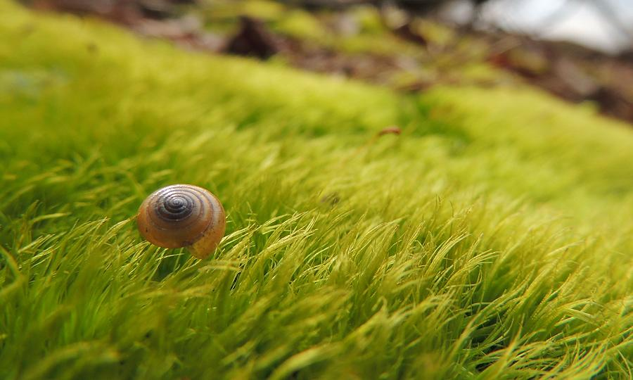Snail Shell On Moss Photograph  - Snail Shell On Moss Fine Art Print