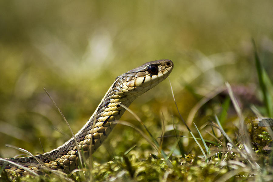 Snake Photograph - Snake Encounter Close-up by Christina Rollo