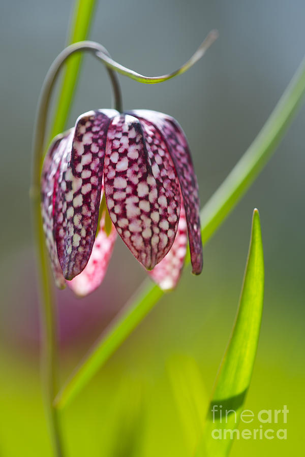 snake 39 s head fritillary photograph by ellen rooney. Black Bedroom Furniture Sets. Home Design Ideas