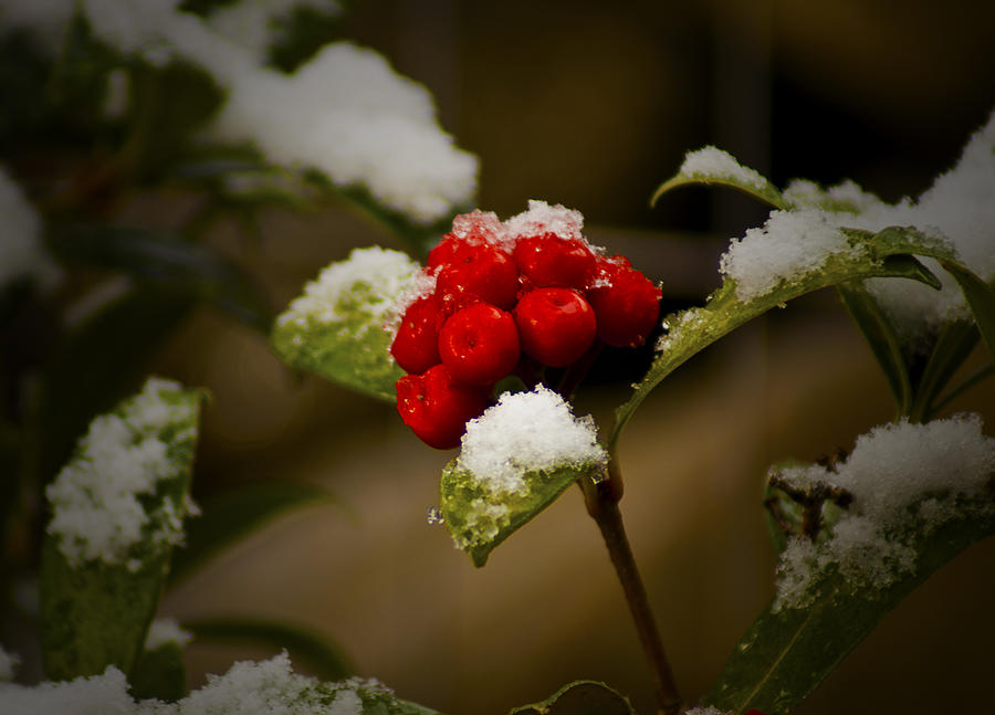 Snow And Berries Photograph