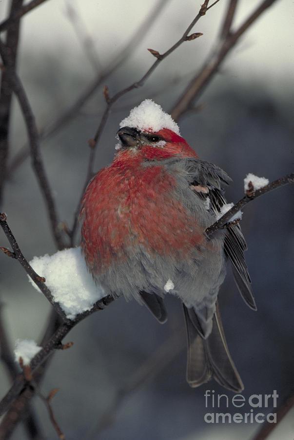 Snow Covered Pine Grosbeak Photograph