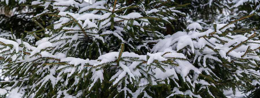 Snow Covered Spruce Tree - Featured 2 Photograph