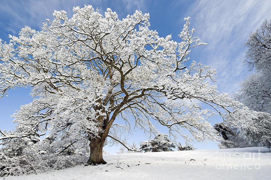 Snow Covered Winter Oak Tree Photograph
