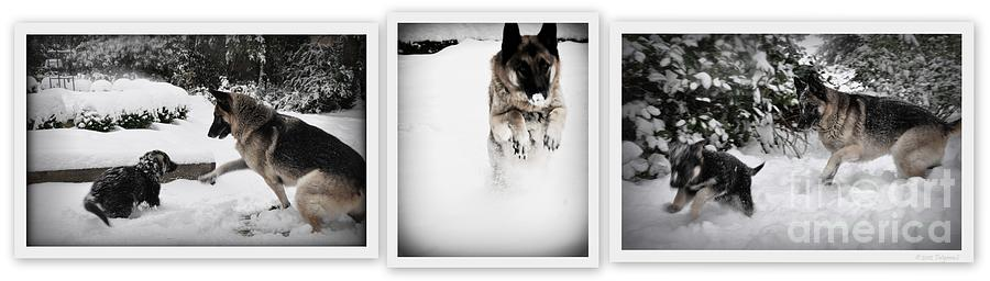 Snow Dogs. Triptich Photograph  - Snow Dogs. Triptich Fine Art Print