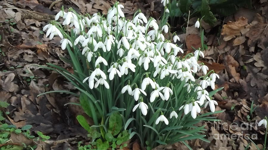 Snow Drops Photograph