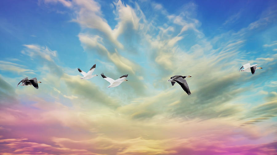 Snow Geese Over New Melle Photograph  - Snow Geese Over New Melle Fine Art Print