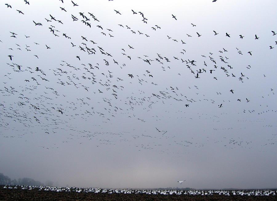 Snow Geese  Photograph