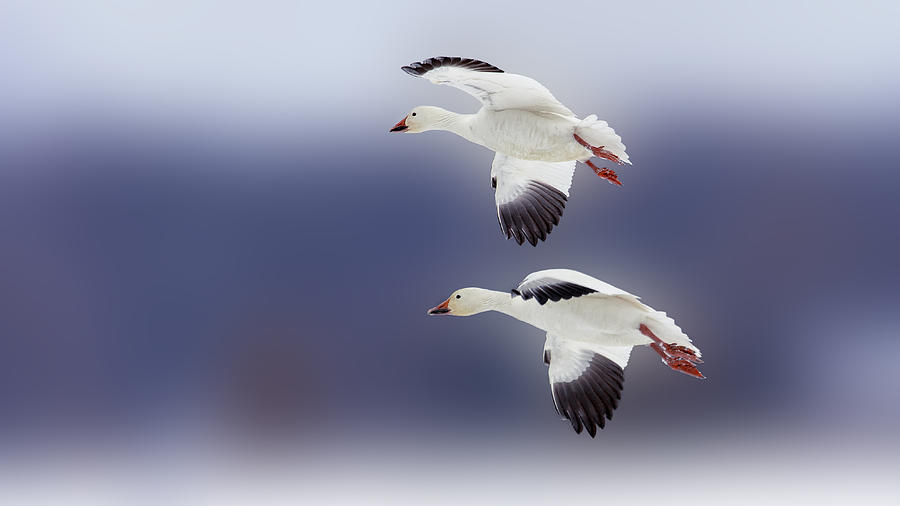 Snow Goose Flight Photograph  - Snow Goose Flight Fine Art Print