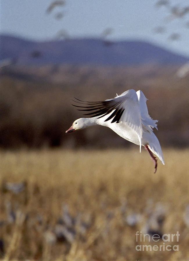 Snow Goose Photograph  - Snow Goose Fine Art Print