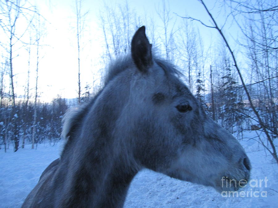 Snow Horse Whisperer  Photograph  - Snow Horse Whisperer  Fine Art Print