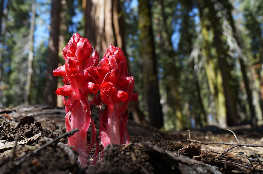 Snow Plant In Sequoia National Park by Julie Grandfield
