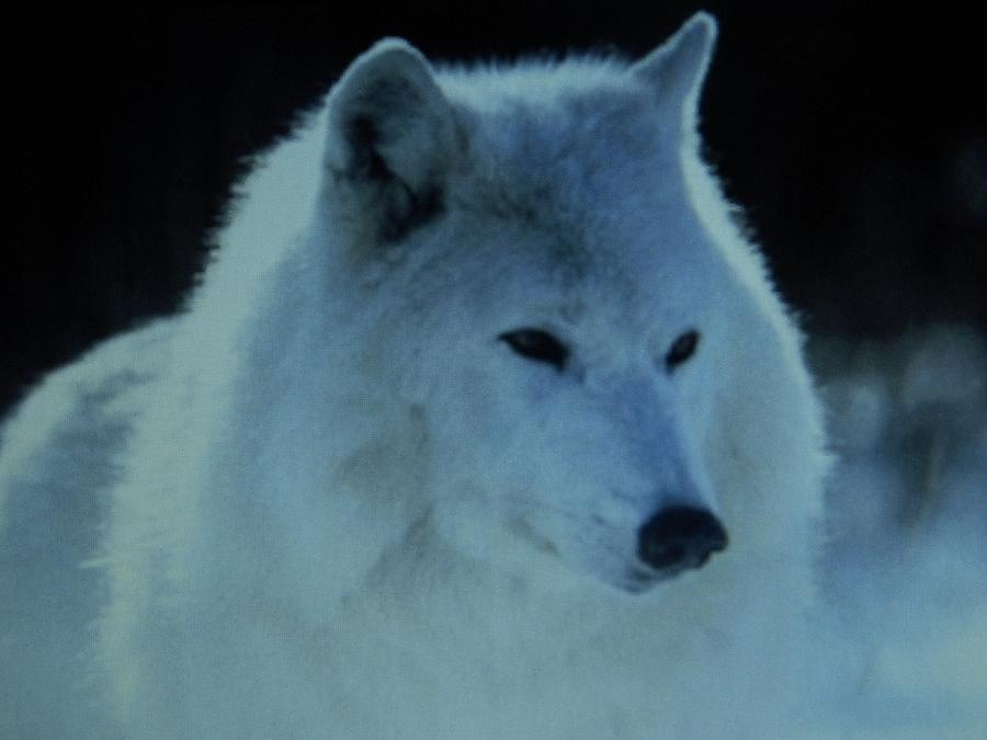 Snow White Wolf is a photograph by Gunter Hortz which was uploaded on ...