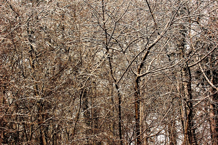Snowed Trees Photograph