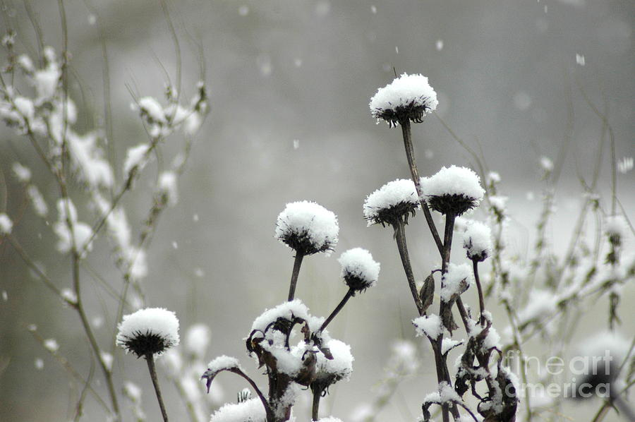 Snowfall On Echinacea Heads Photograph