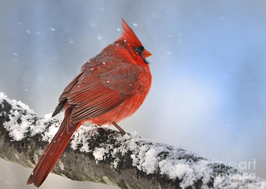 Snowing On Red Cardinal Photograph