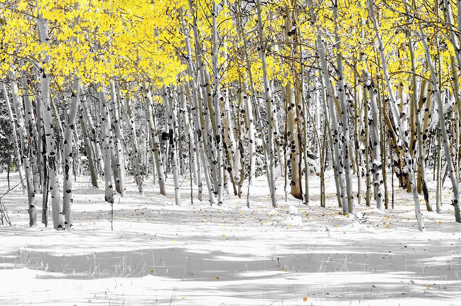 Snowy Aspen Landscape Photograph