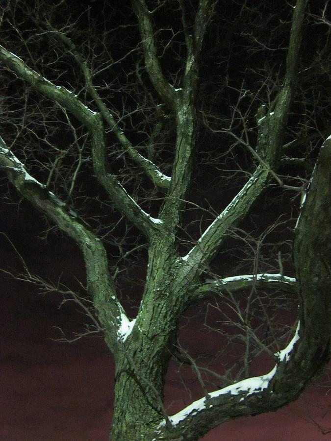 Snowy Branches Photograph