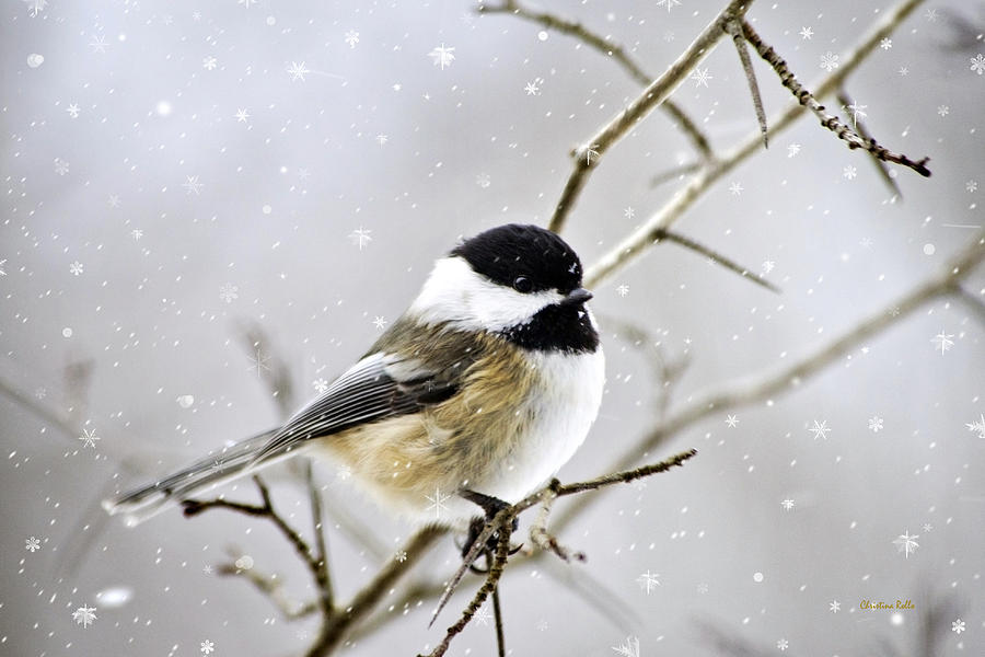 Snowy Chickadee Bird Digital Art