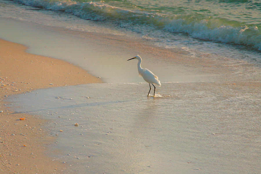 Snowy Egret In Surf II Photograph  - Snowy Egret In Surf II Fine Art Print