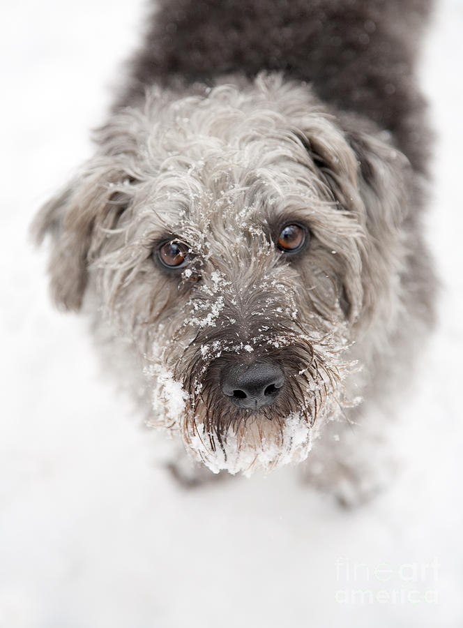 Snowy Faced Pup Photograph  - Snowy Faced Pup Fine Art Print