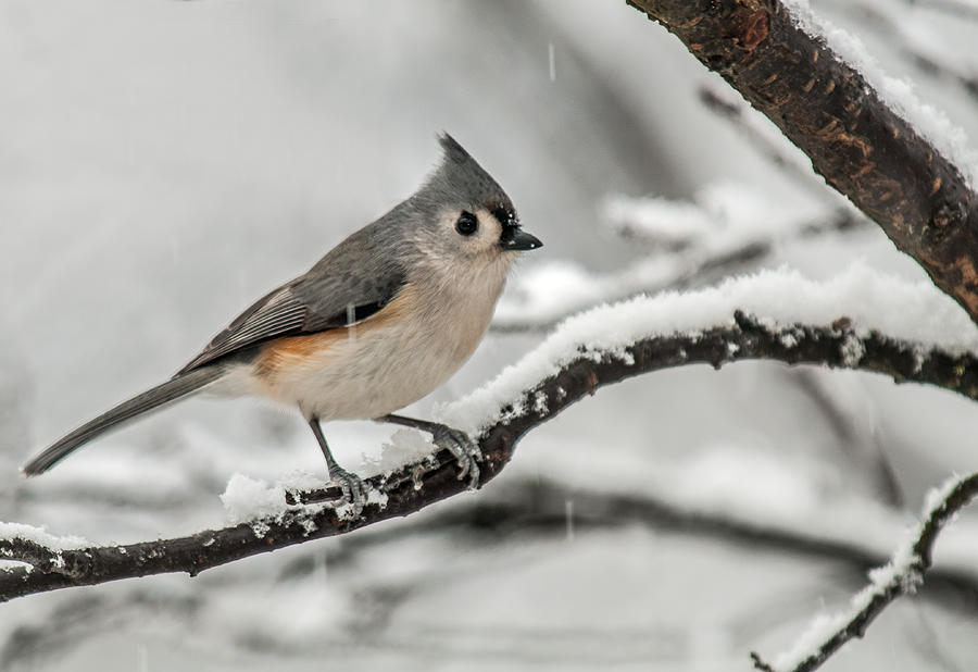 Snowy Little Titmouse Photograph  - Snowy Little Titmouse Fine Art Print