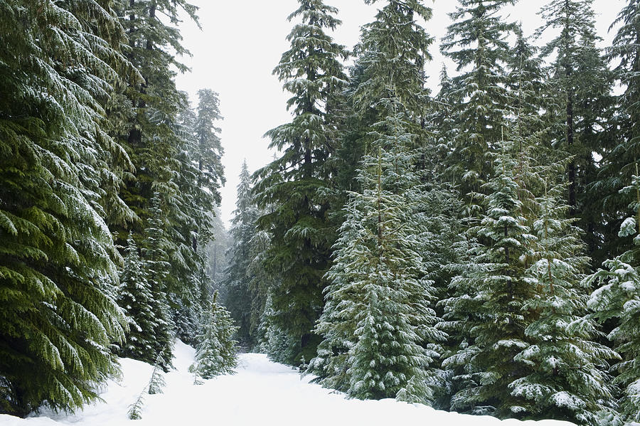 Snowy Mount Hood Forest Photograph