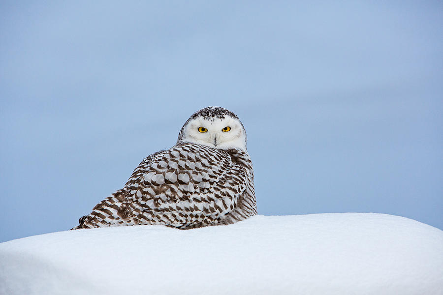 Snowy Owl Hunting Off Hay Bale Photograph by Cindy Lewis