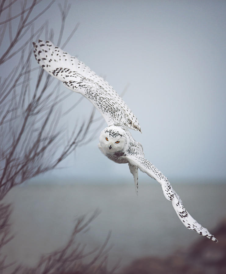 Snowy owl changes its flight plan