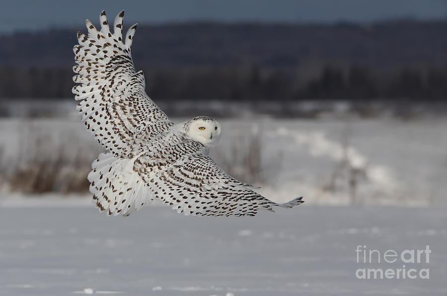 Snowy Owl In Flight Photograph