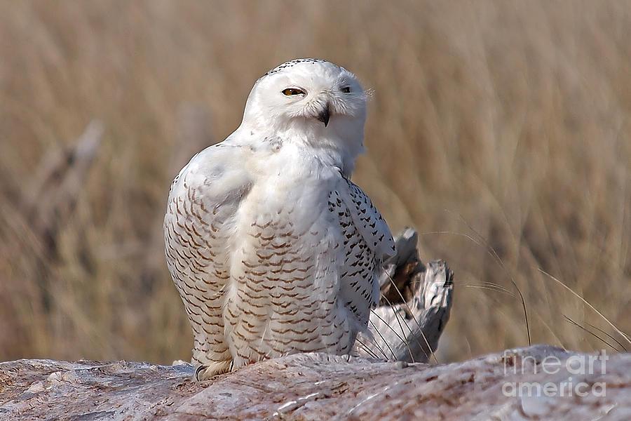 Snowy Owl On A Log Photograph