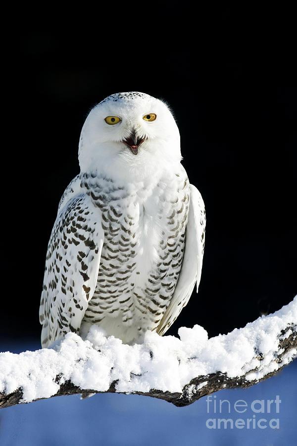 Snowy Owl On A Twilight Winter Night Photograph