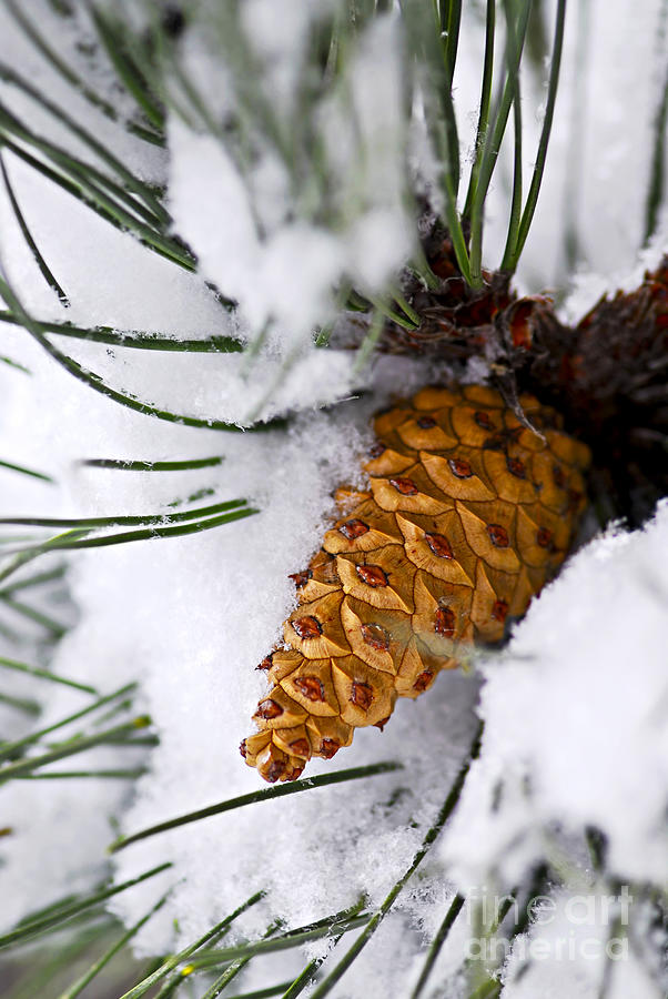Snowy Pine Cone Photograph